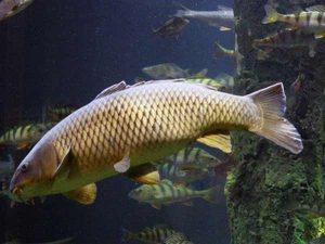 Mơ thấy cá chép đánh con gì để đổi đời và phất lên nhanh chóng?