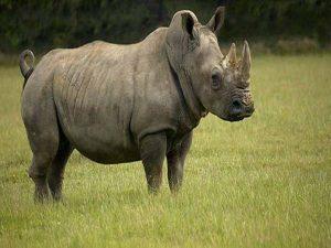 Giải mã ý nghĩa giấc mơ thấy tê giác mang điềm báo gì?