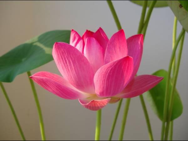Giải mã ý nghĩa thấy hoa sen mang đến điềm báo gì?