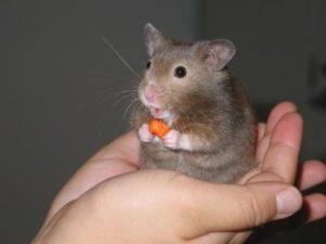 Nằm mơ thấy con chuột có ý nghĩa gì trong cuộc sống