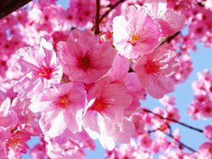 Phân tích ý nghĩa giấc mơ thấy hoa đào đánh lô đề con gì chính xác?
