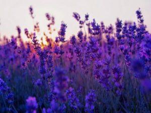 Giải mã giấc mơ thấy hoa màu tím đánh lô đề con gì may mắn?