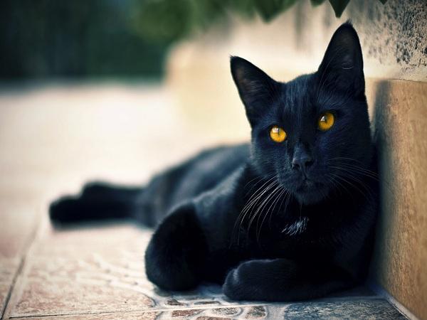 Nằm mơ thấy mèo đen có ý nghĩa gì, đánh con gì ăn chắc